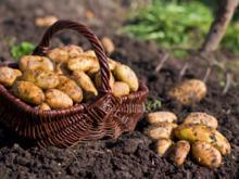 Kartoffeln ernten - Tip