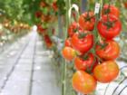 So bauen Sie für Ihre Gartentomaten ein kleines Gewächshaus - Tip