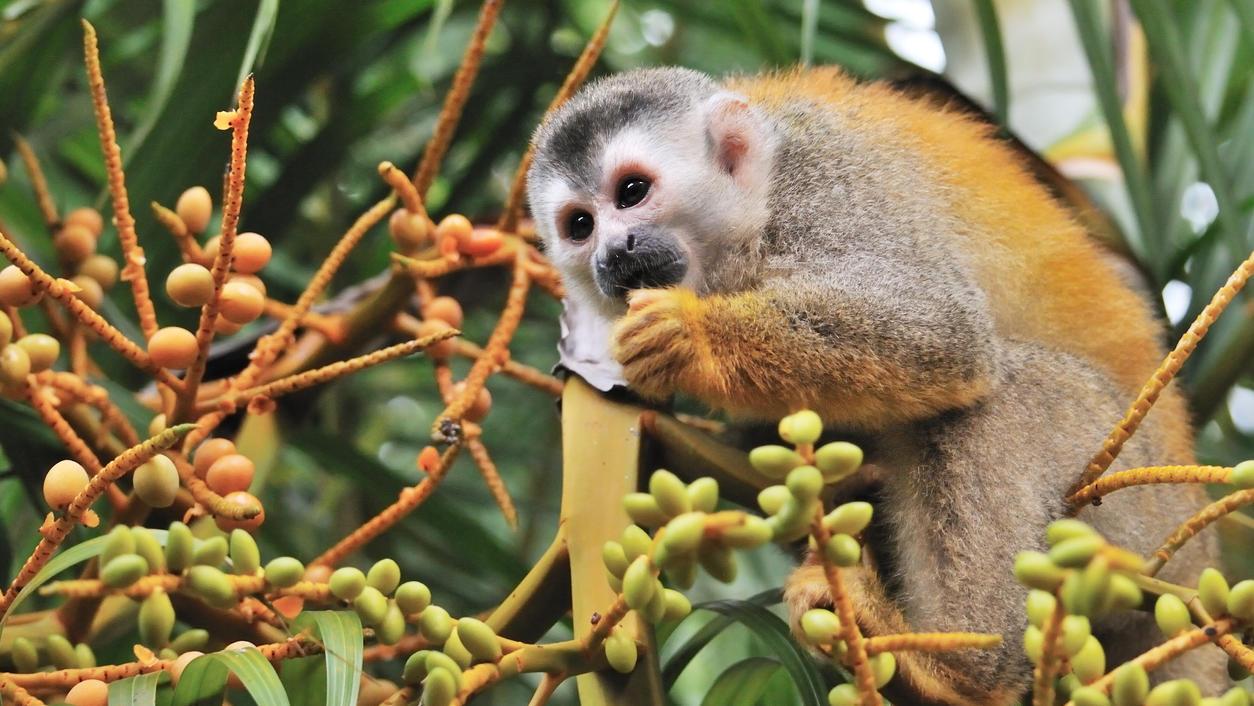 Essender Affe