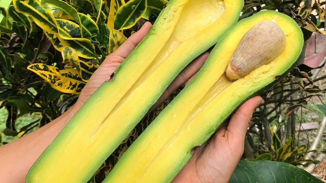 Long Neck Avocado