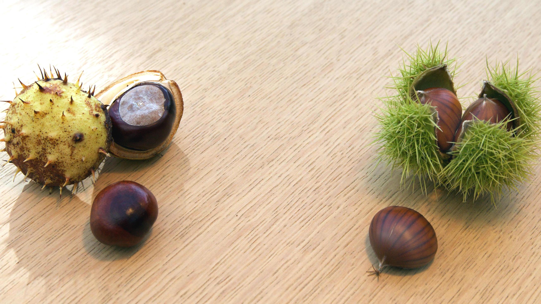 Gewöhnliche oder Rosskastanien sind hingegen runder und wirken kugeliger. Ihre Fruchthülle zeigt weniger und kürzere Stacheln. Die beiden Baumarten sind übrigens nicht mal miteinander verwandt. Rosskastanien sind ungenießbar. Sie verursachen Übelkei