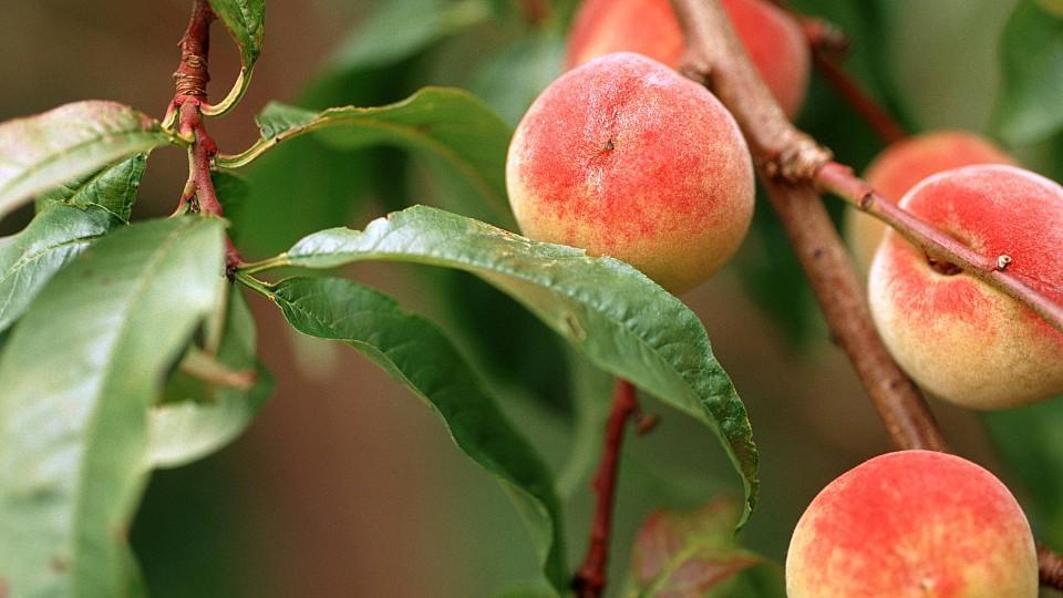 Pfirsiche am Baum: Frisch und lecker