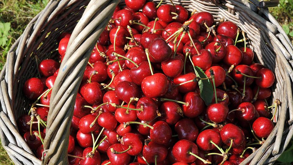 Kirschen pflücken macht Spaß - und garantiert, dass das leckere Obst frisch ist