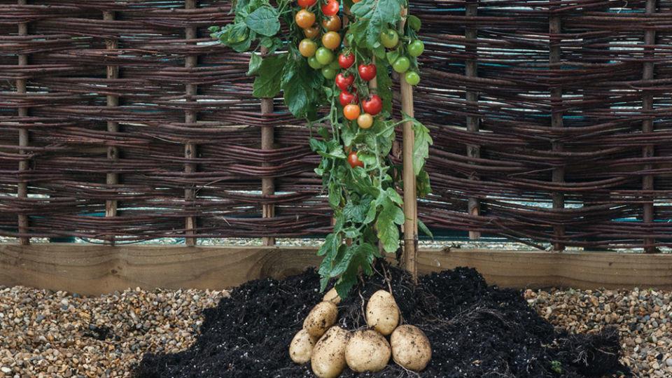tomtato tomaten und kartoffeln wachsen an einer pflanze. Black Bedroom Furniture Sets. Home Design Ideas