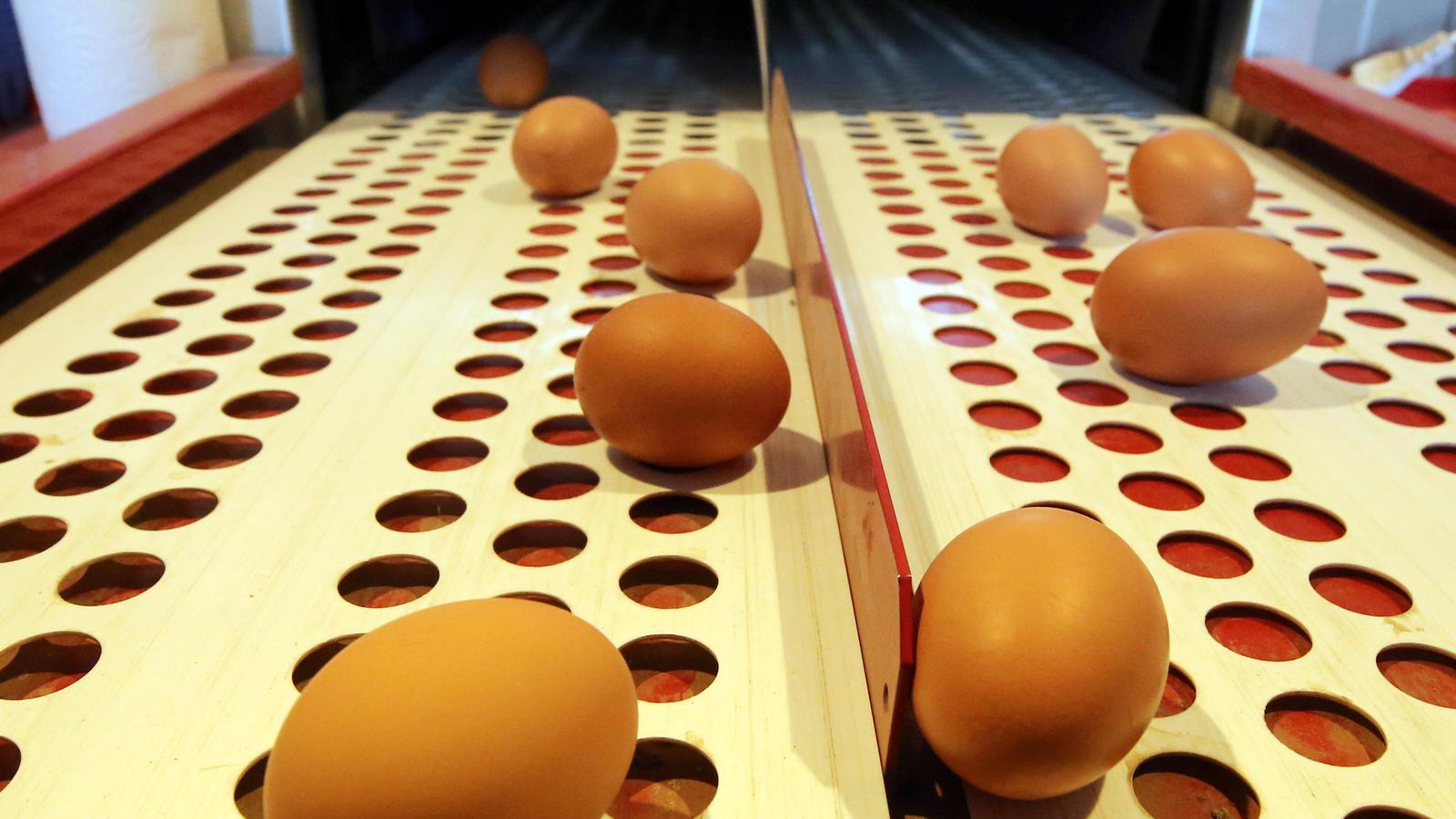 Die Eier von Freilandhühnern rollen am 01.02.2017 im niederrheinischen Schaephuysen (Nordrhein-Westfalen) bei Landwirt Philipp Benger über ein kleines Fließband. Seit Dezember 2016 gilt in Nordrhein-Westfalens wegen der Vogelgrippe eine Stallpflicht