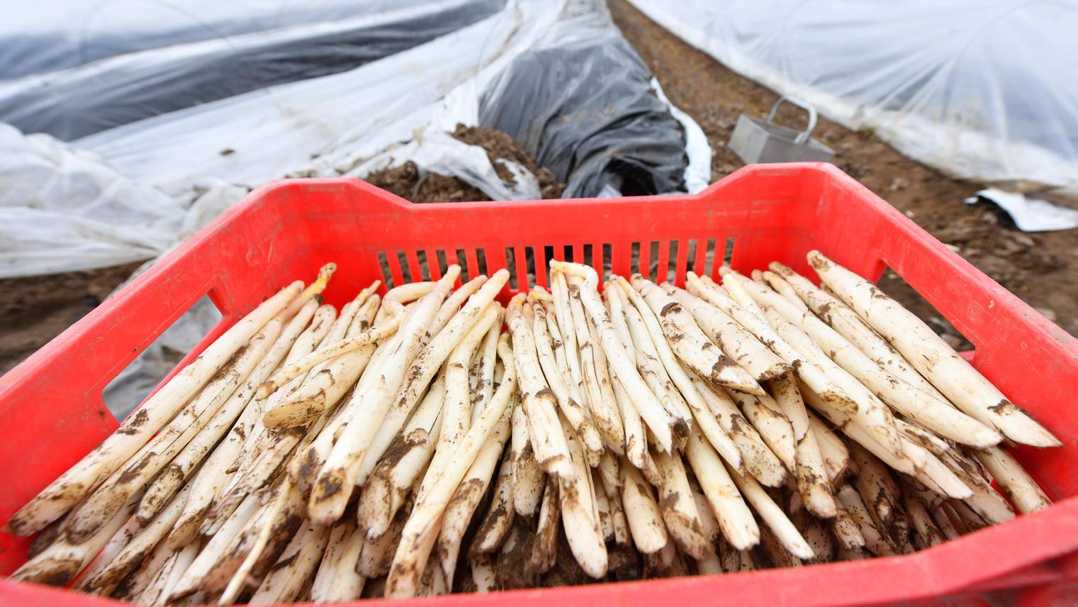 Spargelstangen liegen während der Ernte auf einem Feld bei Weiterstadt (Hessen) in einer Kiste. Der erste Freiland-Spargel wächst unter drei bis vier Folien, die die Wärme im Boden halten - und auch nur an ausgesuchten Standorten. Die R