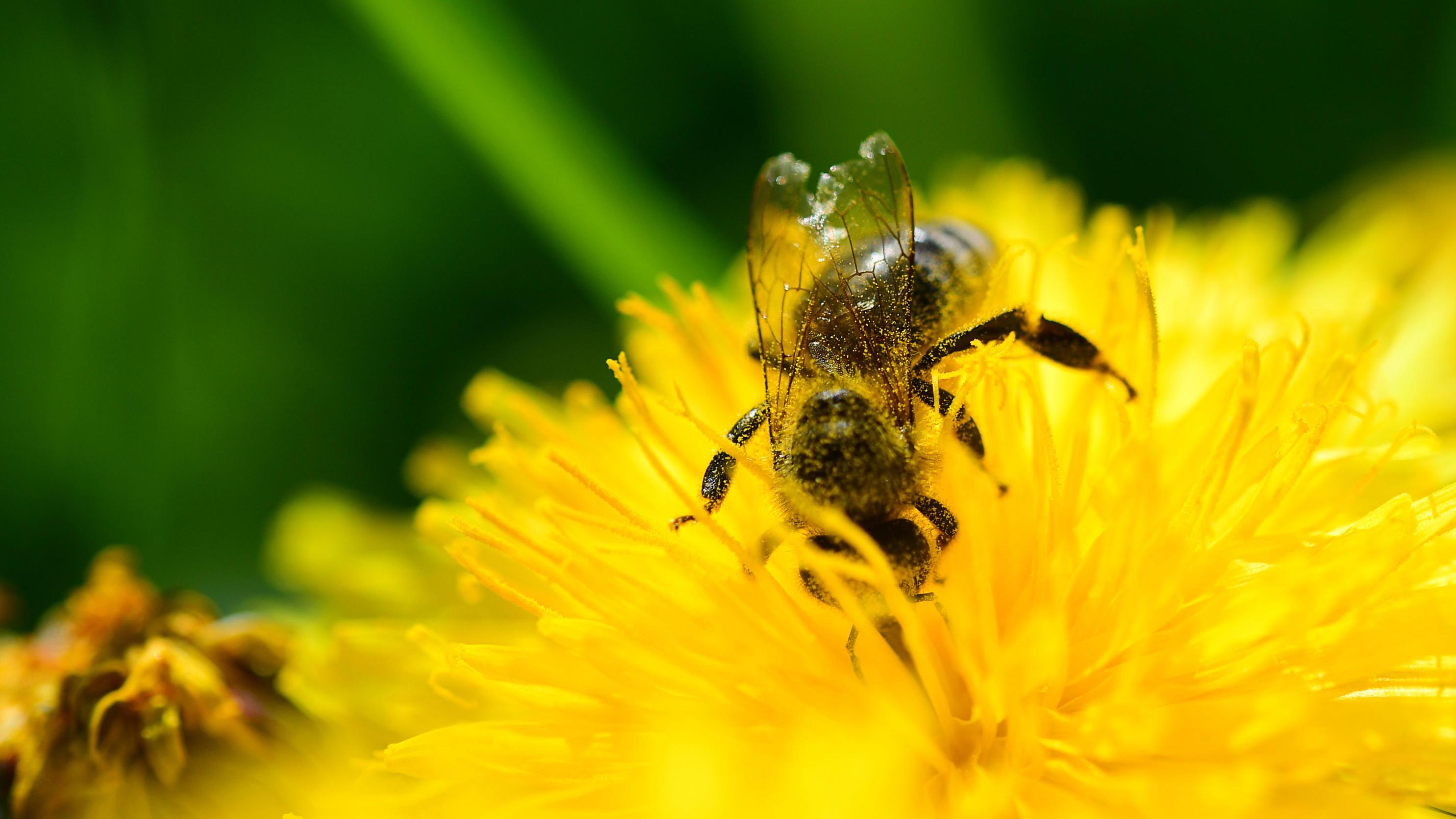 27.04.2018, Baden-Württemberg, Stuttgart: Eine Biene sitzt auf der Blüte eines Löwenzahn. Foto: Sebastian Gollnow/dpa +++ dpa-Bildfunk +++
