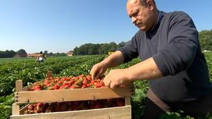 Darum vergammeln in dieser Saison so viele Erdbeeren!